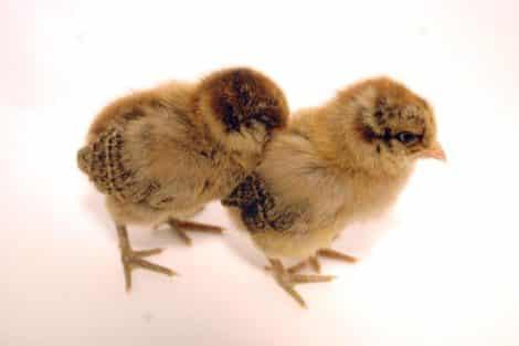 Hühner 3